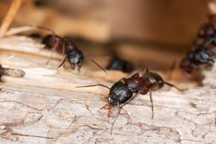 Carpenter ant extermination by On The Go Services, LLC